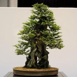 Semi di Sequoia gigante