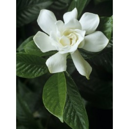 Semi di Gardenia