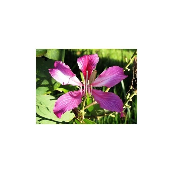 Semi di albero orchidea for Semi orchidea