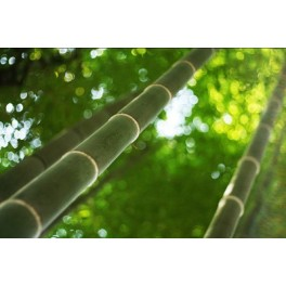 Semi di Bambù Gigante