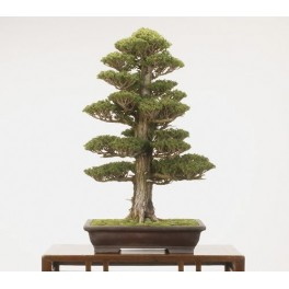 Semi di Cryptomeria