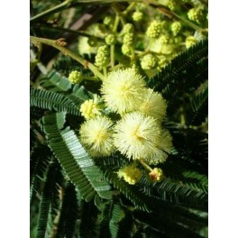 Semi di Mimosa Nera