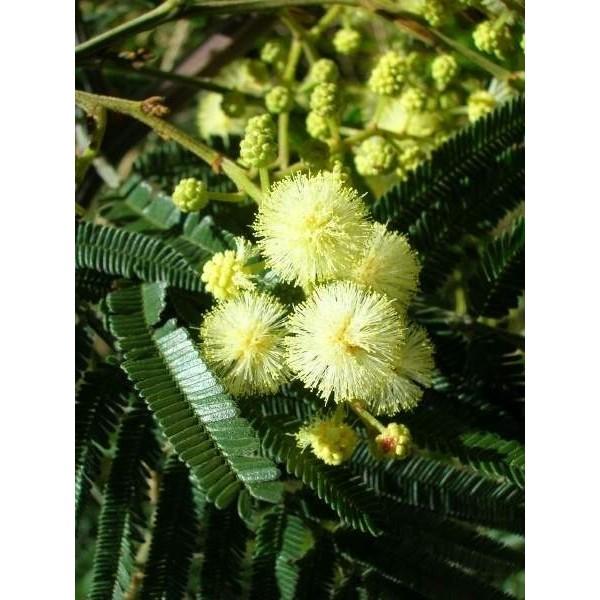 Vendita semi di mimosa nera for Vendita semi fiori