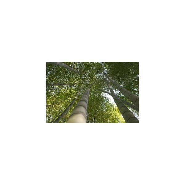 semi di bamb gigante moso