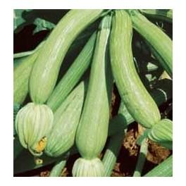 """Semi di Zucchino """"Genovese"""""""