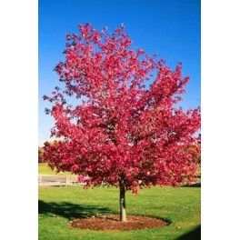 Semi di Acero Rosso