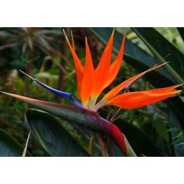 Semi di Uccello del Paradiso (Strelitzia nicolai)